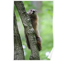 Groundhog in a Tree Poster