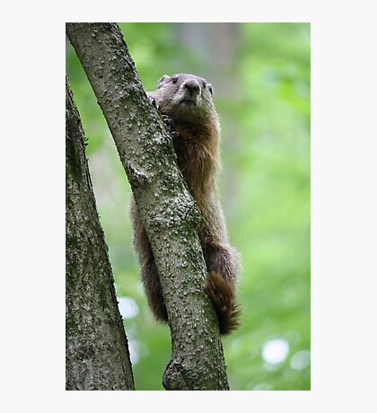 Groundhog in a Tree Photographic Print