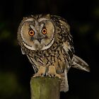 Long-Eared Owl (Asio otus) - III by Peter Wiggerman