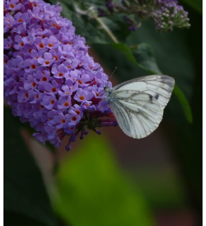 Large white butterfly on lilac Sticker