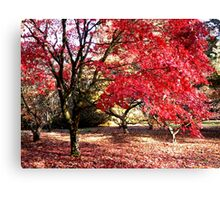 Japanese Maples in Autumn Canvas Print