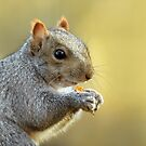 Grey Squirrel 1 by Jane-in-Colour
