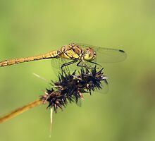Common Darter (Sympetrum striatum) - Rixton Clay Pits by Chris Monks