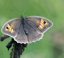 Meadow Brown (Maniola jurtina) by Chris Monks