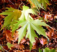 Acer leaves by Tracey Feltham