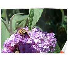 Excellent Detail Bee on Buddleia Poster