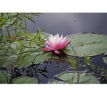 Red Water Lilly Photographic Print