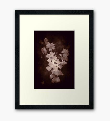 Where the wild roses grow ... Framed Print