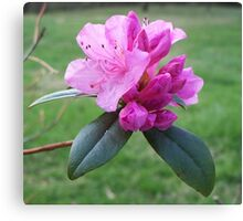 Welcoming Spring - Rhododendron 2 Canvas Print