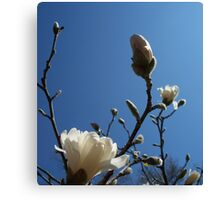 Welcoming Spring - Star Magnolia 2 Canvas Print