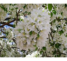 Spring Snow Crabapple Photographic Print
