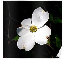 Welcoming Spring - Dogwood Poster