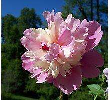 Spring Pinks - Raspberry Sorbet Peony 4 Photographic Print