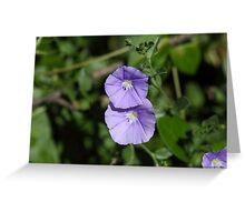 Flowers of a blue rock bindweed (Convolvulus sabatius) Greeting Card