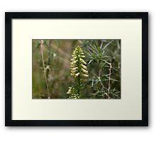 Straw foxglove (Digitalis lutea ssp australis) Framed Print