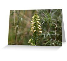 Straw foxglove (Digitalis lutea ssp australis) Greeting Card