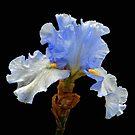 Hybrid Bearded Iris by Floyd Hopper
