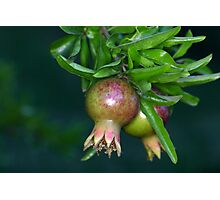Green pomegranate fruit (Punica granatum) on a tree. Photographic Print