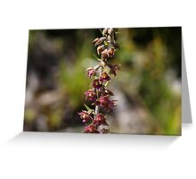 Dark red Helleborine  (Epipactis atrorubens) Greeting Card