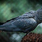 Red Tailed Black Cockatoo by WayneG57