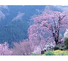 By The Cherry Blossom Tree Photographic Print