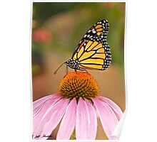 Viceroy Butterfly on a Purple Coneflower Poster