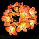 Clivia #2 -- Melbourne Flower Show. by johnrf