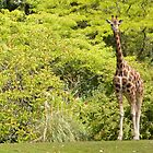 Woodland Park Giraffe  by Dani LaBerge