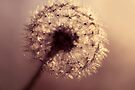 dandelion by Ingrid Beddoes