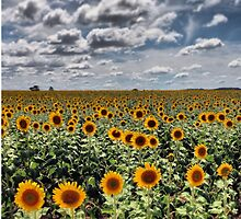 Sunflower field, Warwick, QLD by MattLawsonPhoto Novelty gifts