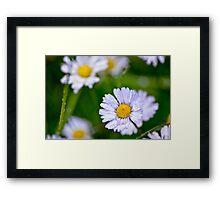 Daisy Rain Framed Print