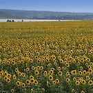 Sunflower Panorama, Ukraine by Yuri Lev