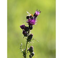 Bee on Purple Thistle Blossom Photographic Print