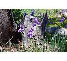 Wild Irises And Friend Photographic Print