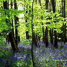 The Enchantment of Bluebells by Charmiene Maxwell-batten