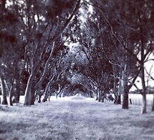 Tree avenue, Maffra, VIC by MattLawson