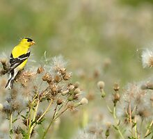 Goldfinch on Thistle by Heather Pickard