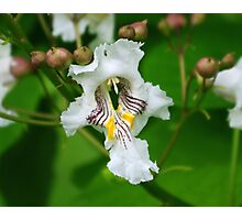 Flowers on a Catalpa Tree Photographic Print