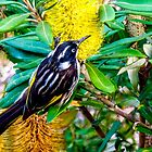 New Holland honeyeater on banksia by indiafrank