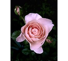 Ambridge Rose Photographic Print