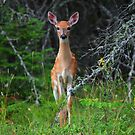 Whitetail Fawn by Vickie Emms