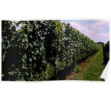 Summer Vineyard Poster