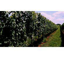 Summer Vineyard Photographic Print