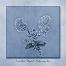 Californian Lilac Cyanotype by John Edwards