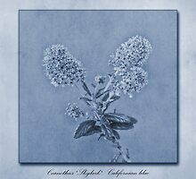 Californian Lilac Cyanotype by John Edwards