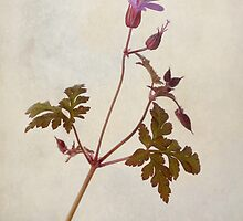 Herb Robert by John Edwards