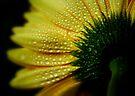 Gerbera daisy by Ingrid Beddoes