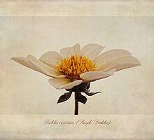 Dahlia coccinea (Single Dahlia) by John Edwards