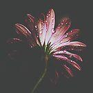 Daisy by Ingrid Beddoes