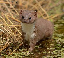 Weasel (Mustela nivalis) - II by Peter Wiggerman